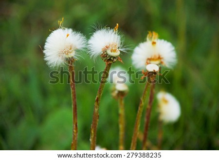 Dandelions, white flowers in green grass