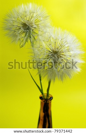 dandelions with drop water  on yellow  background