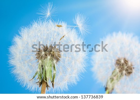 Dandelions with seeds on blue sky background - stock photo