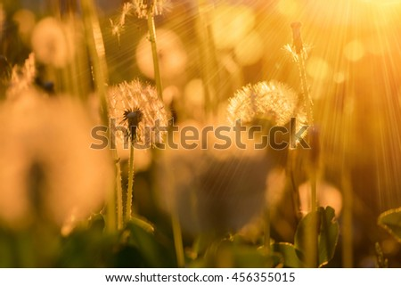 Dandelons in the lights of a sun at sunset - stock photo