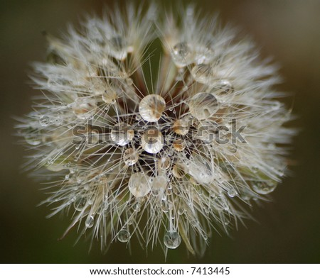 Dandy-lion with dew on it - stock photo