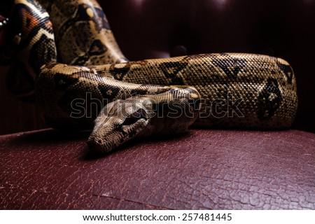 dangerous big snake crawling, sits on a beautiful stule- throne, - stock photo