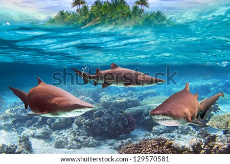 Dangerous bull sharks in the tropical shallow water - stock photo