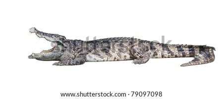 Dangerous crocodile isolated on white background