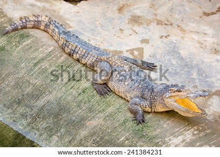 Dangerous crocodile open mouth in farm in Phuket, Thailand. Alligator in wildlife - stock photo