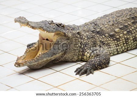 Dangerous crocodile with open mouth - stock photo