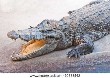 Dangerous crocodile with open mouth