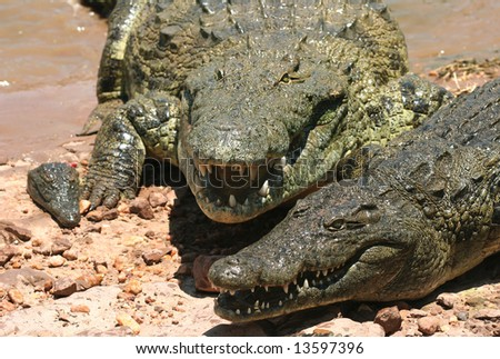 Dangerous Crocodiles on the bask of the Kariba lake. Zambia. Africa - stock photo
