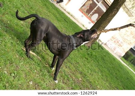 Dangerous dog- amstaff breaking branch - stock photo