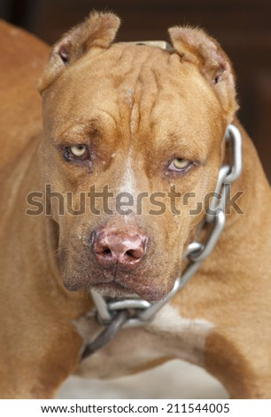Dangerous dog or vicious dog brown pitbull fierce eyes in a big chain.