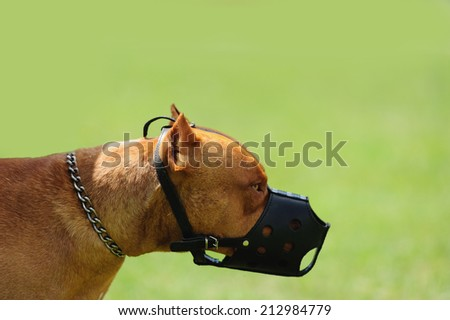 dangerous dog with muzzle on the green background - stock photo