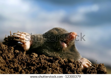 Dangerous mole in molehill, showing claws and teeth - stock photo