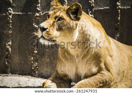 Dangerous, Powerful lioness resting, wildlife mammal withbrown fur - stock photo
