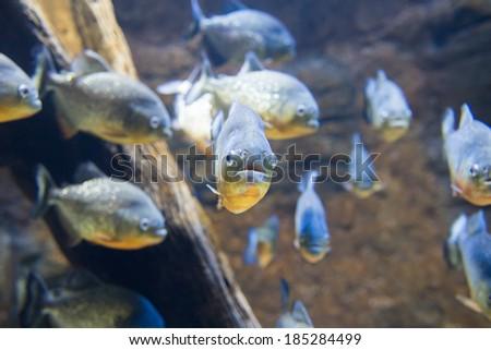 Dangerous Red-Belly Piranha (Serrasalmus Nattereri) - stock photo