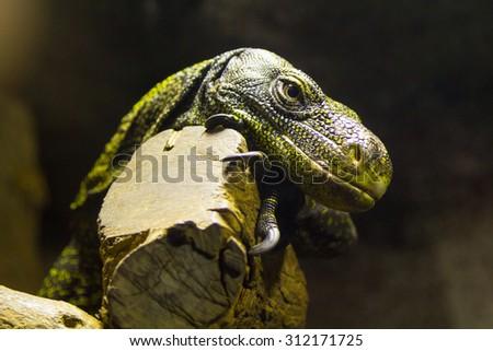 dangerous reptile Komodo Dragon Varanus komodoensis - stock photo