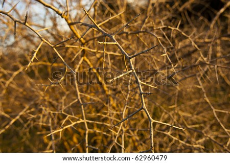Dangerous, sharp thorns cover a bush at sunset