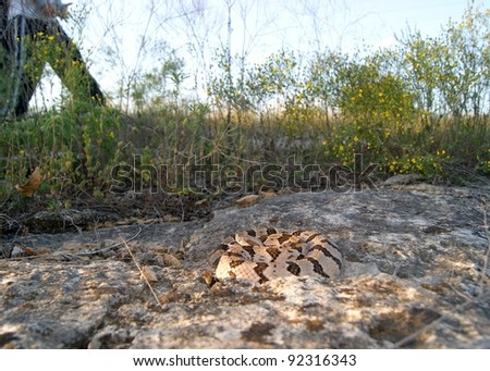 Dangerous snake hidden by camouflage along a path with people walking neaby - Timber Rattlesnake, Crotalus horridus - stock photo