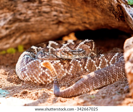 Dangerous South American rattlesnake (Crotalus durissus) on sand - stock photo