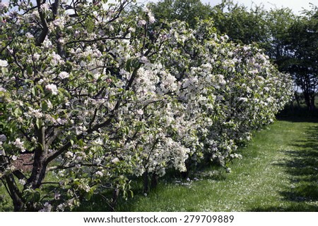 Danish apple orchard in bloom - stock photo