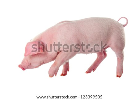 Danish Landrace pig breeds. Isolated on white background - stock photo