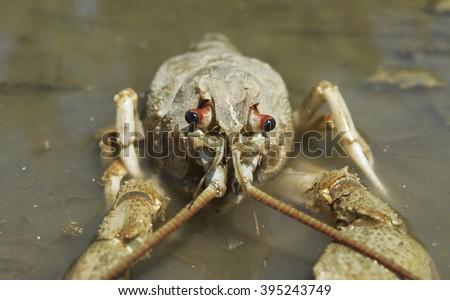 Danube crayfish - stock photo