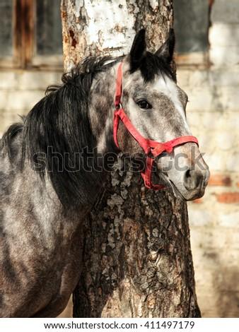 Dapple gray horse in farm - stock photo