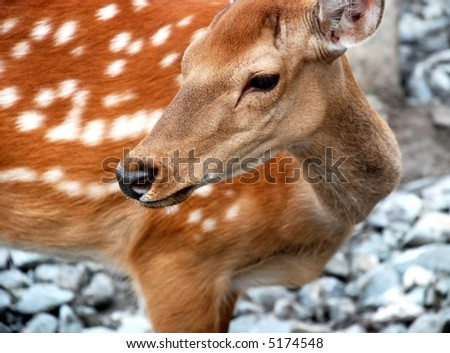 Dappled deer, portrait of wild animal - stock photo