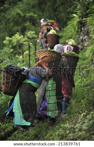 DARJEELING, INDIA,  - July. 5. 2012: Women carrying fresh tea leafs in the basket at tea garden in Darjeeling, one of the best quality tea in the world, India - stock photo