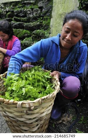 DARJEELING, INDIA,  - July. 5. 2012: Women carrying fresh tea leafs in the basket at tea garden in Darjeeling, one of the best quality tea in the world, India - stock photo
