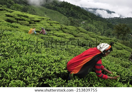 DARJEELING, INDIA,  - July. 5. 2012: Women pick up tea leafs by hand at tea garden in Darjeeling, one of the best quality tea in the world, India - stock photo