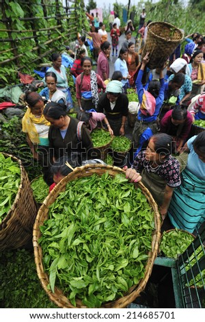 DARJEELING, INDIA,  - July. 5. 2012: Women with fresh tea leafs in the basket at tea garden in Darjeeling, one of the best quality tea in the world, India - stock photo