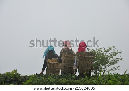 DARJEELING, INDIA,  - July. 3. 2014: Women working at tea garden in Darjeeling, one of the best quality tea in the world, India - stock photo