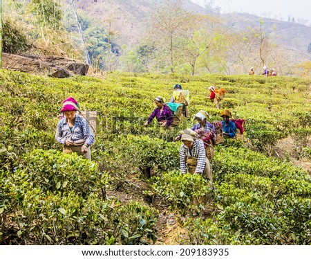 DARJEELING, INDIA - MARCH 14, 2014: tea pickers in darjeeling, India, dressed in colorful clothes, are plucking the fresh tea leaves  from the bushes. It is the first harvest in the year. - stock photo