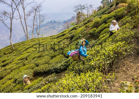 DARJEELING, INDIA - MARCH 14, 2014: tea pickers in the teaplantations of darjeeling, dressed in colorful clothes, are plucking the fresh tea leaves  from the bushes. - stock photo