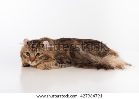 Dark American Curl Sitting on the white table. White Background. Looking Down.