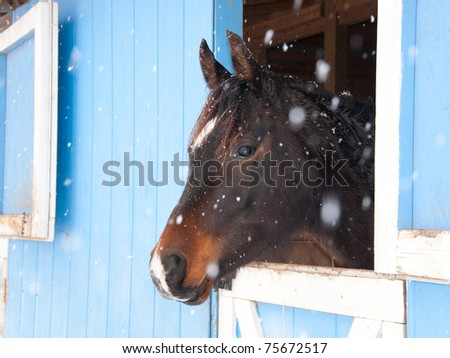 Dark bay Arabian horse looking out of a blue barn in heavy snow fall - stock photo