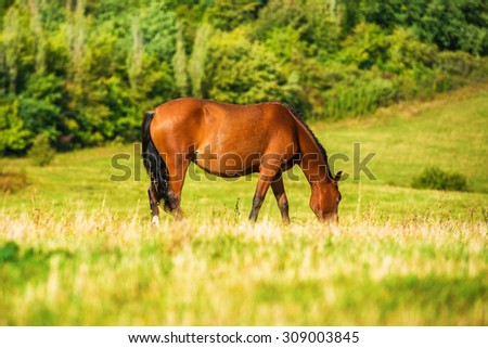 Dark bay horse grazing on a field with green grass - stock photo