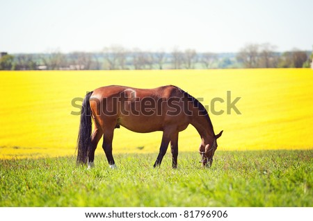 Dark bay horse in the meadow - stock photo