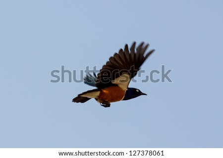 Starling Bird Images Superb Starling Bird With