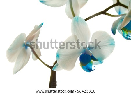 Dark blue orchid - stock photo