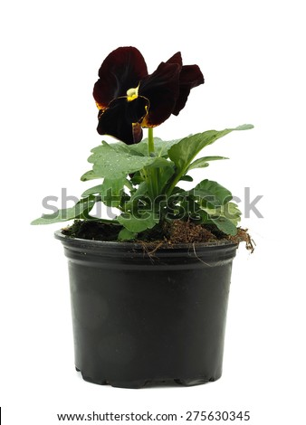 Dark brawn pansies (violets) in plastic pot on a white background