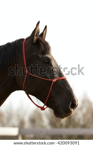 Dark brown horse head profile with red halter