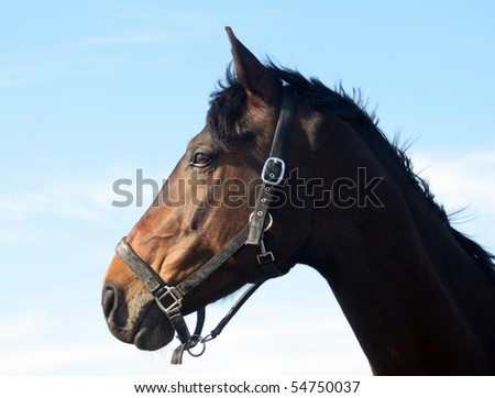 Dark brown horse with sky blue background