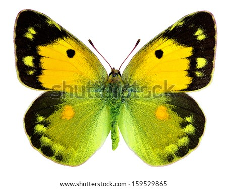 Dark Clouded Yellow (Colias croceus) isolated on a white background - stock photo