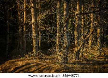 dark dense forest - stock photo