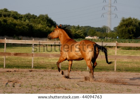 Dark Dun Quarter Horse Mare running - stock photo