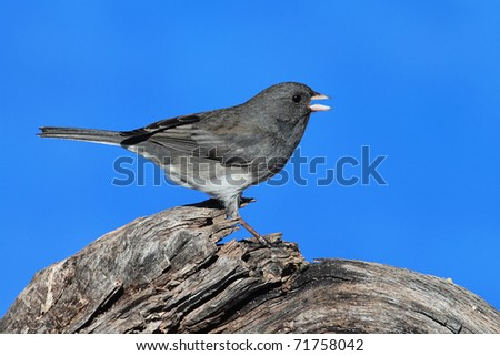 Dark-eyed Junco (hyemalis) on a stump with a blue sky background - stock photo