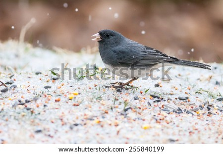 Dark-eyed Junco (Junco hyemalis) - stock photo