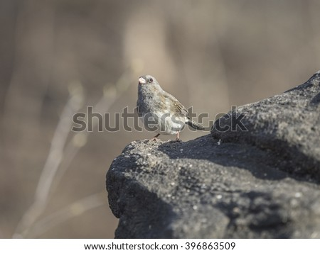 dark-eyed junco,Junco hyemalis is the best-known species of the juncos - stock photo