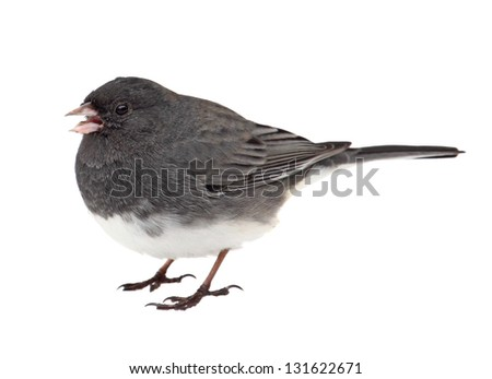 Dark-eyed junco, Junco hyemalis, isolated on a white background